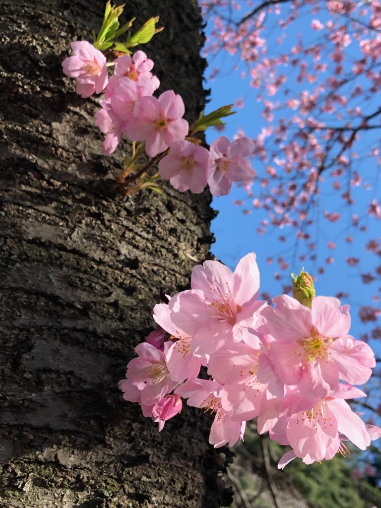 """""""開花宣言"""" さっそく桜"""